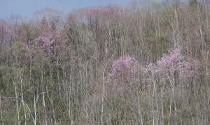 里桜・山桜