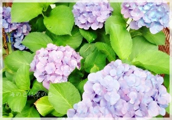 2014紫陽花4
