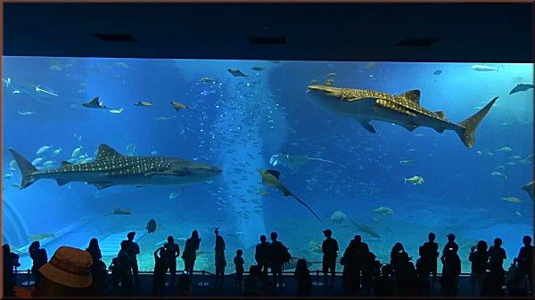 沖縄美ら海水族館_ジンベエザメ