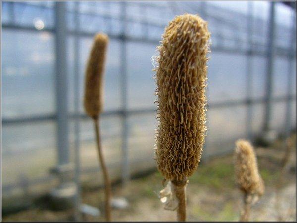 ラナンキュラスの種子_1