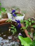 クレマチスの紫色、ちさな池にお似合い!