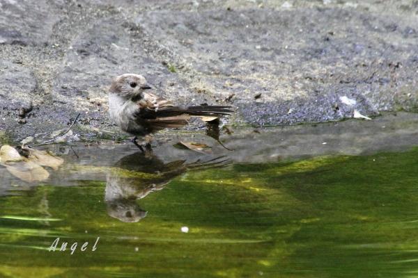 エナガ幼鳥(201407275553)
