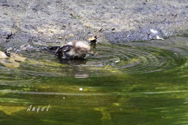 エナガ幼鳥(201407275559)