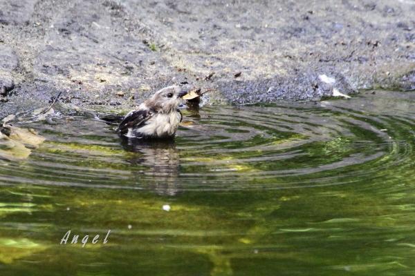 エナガ幼鳥(201407275560)