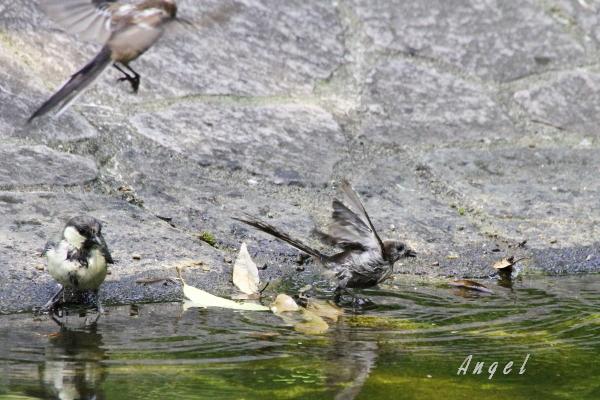 エナガ幼鳥&シジュウカラ幼鳥(201407275530)