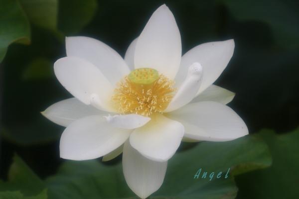 真如蓮(201407130120)