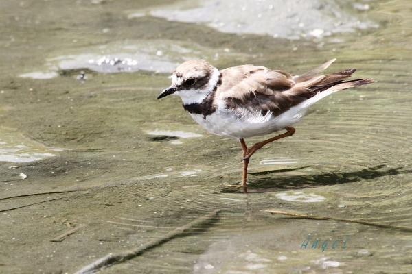 コチドリ幼鳥(201408167516)