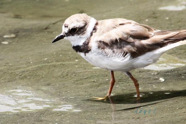 コチドリ幼鳥(201408167520)