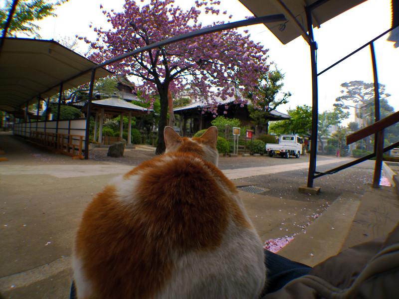 八重桜を見てるネコ