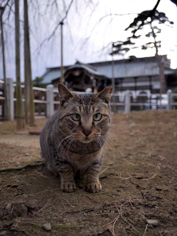 ジーッと見つめる境内のネコ