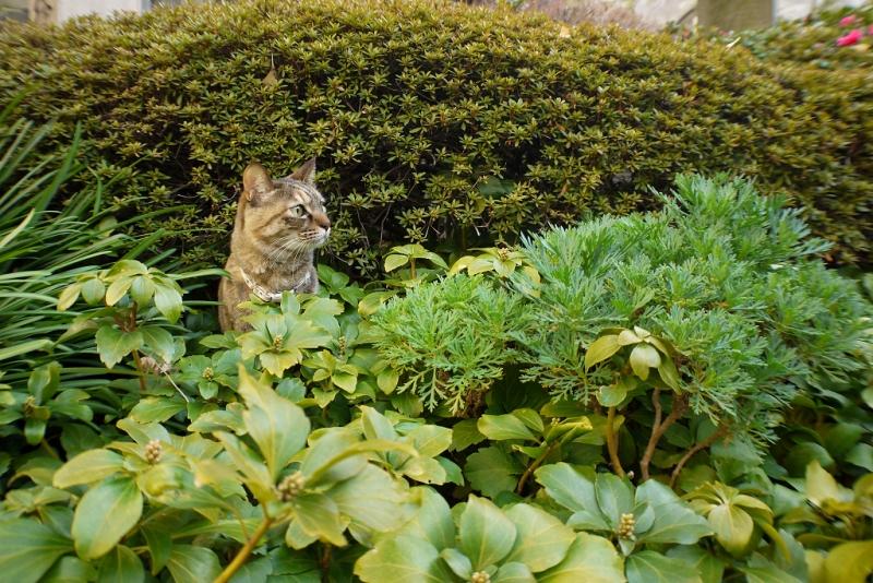 境内の茂みから顔を出すネコ