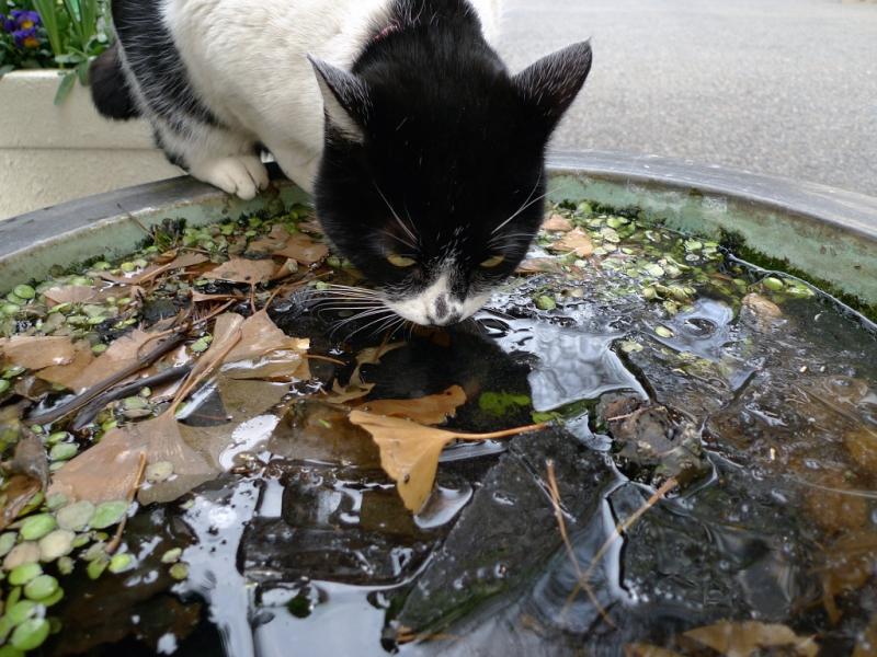 氷が張った水鉢で水を飲むネコ
