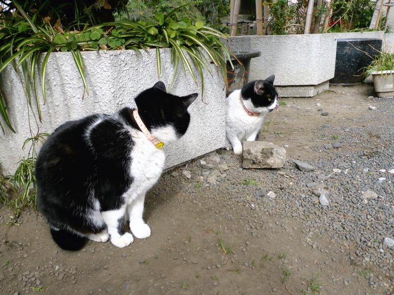 プランターの前の義理姉妹ネコ