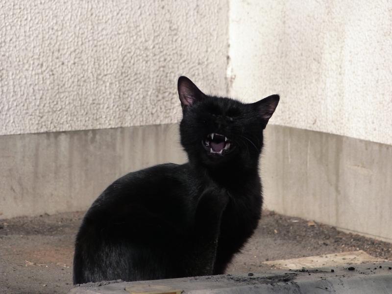 黒猫の欠伸とカキカキ