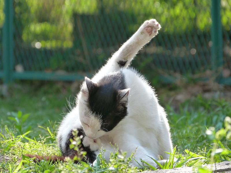 足を高く上げて毛繕いしているネコ