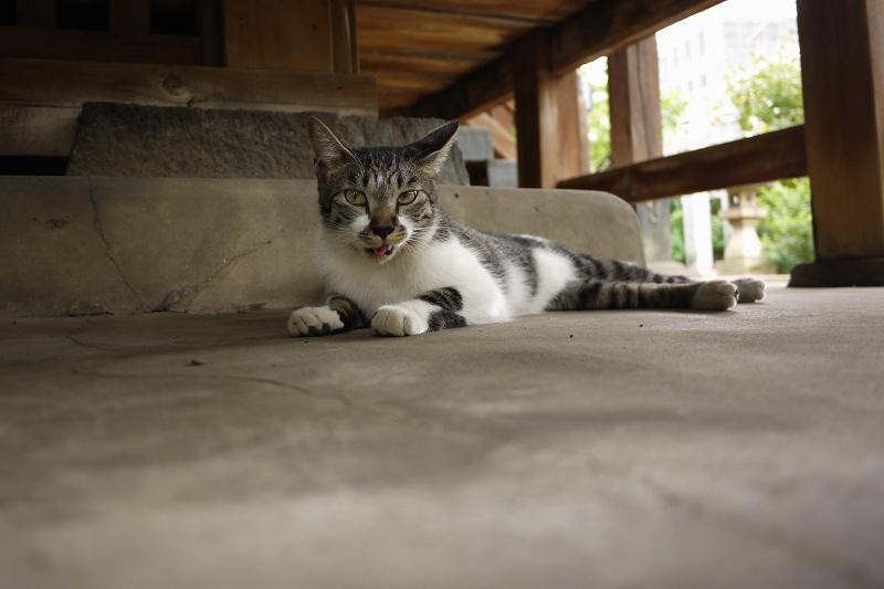 縁の下ベロ出しのネコ