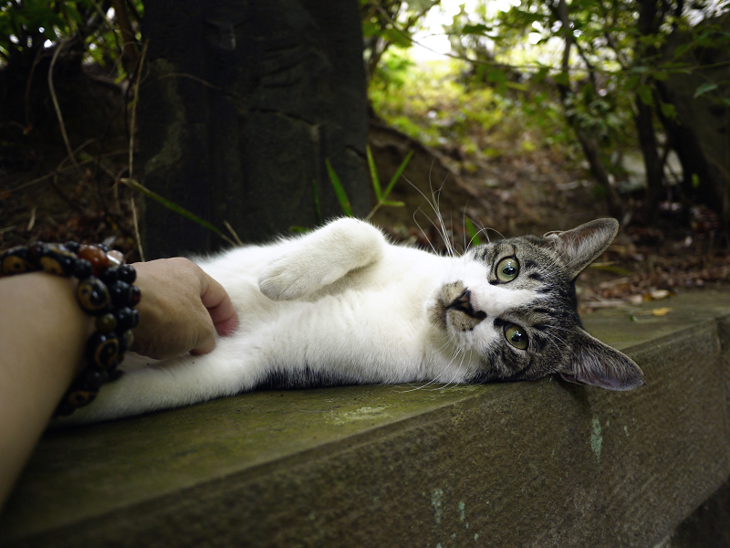 お腹を触られるネコ