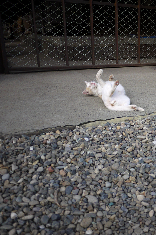 境内で転がってるネコ