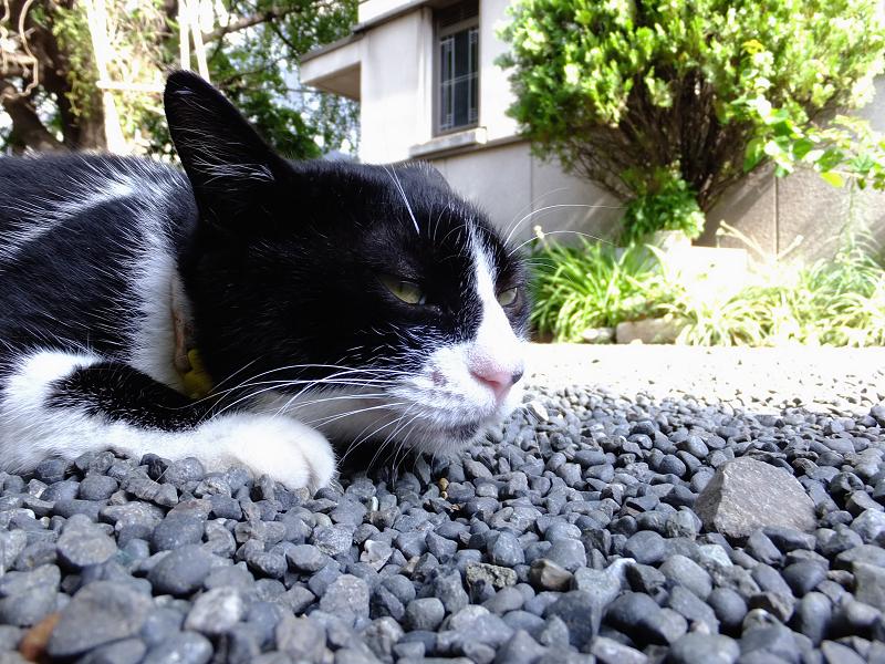 玉砂利腹ばいネコ