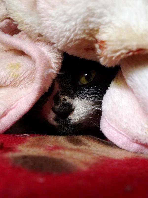 毛布の隙間から覗いてるネコ
