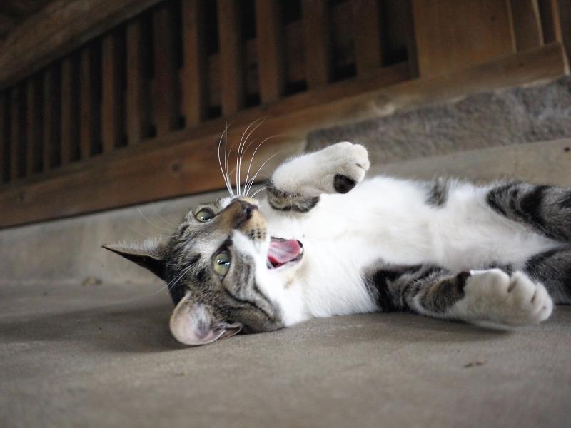仰向け転がり欠伸ネコ