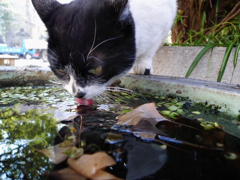 水鉢の水をベロを出して飲むネコ