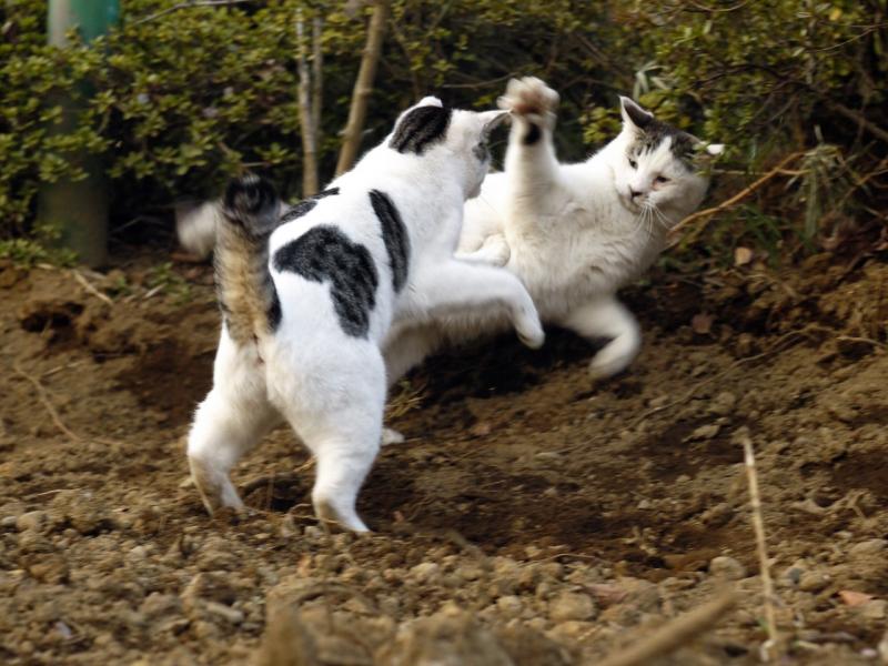 土の上で暴れるネコ