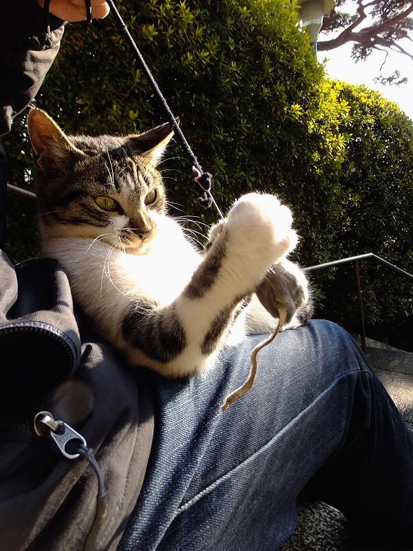 膝の上でネズミを捕まえようとしてるネコ
