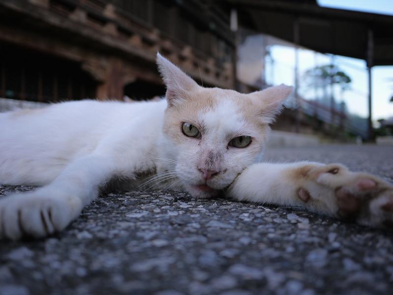 境内で腕枕してる猫