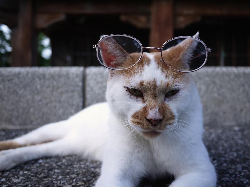 メガネを掛けた猫