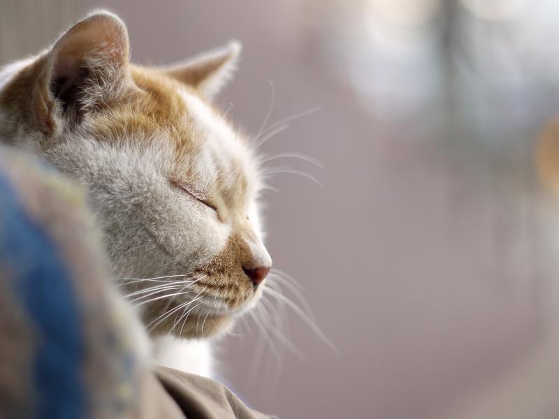 寝ている友だちネコの横顔