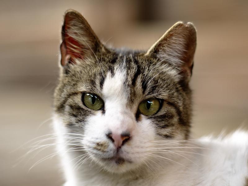 見つめる猫をオールドレンズで