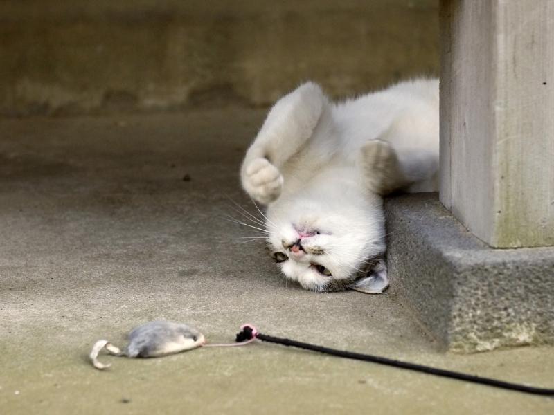 仰向けになってネズミを見てるネコ