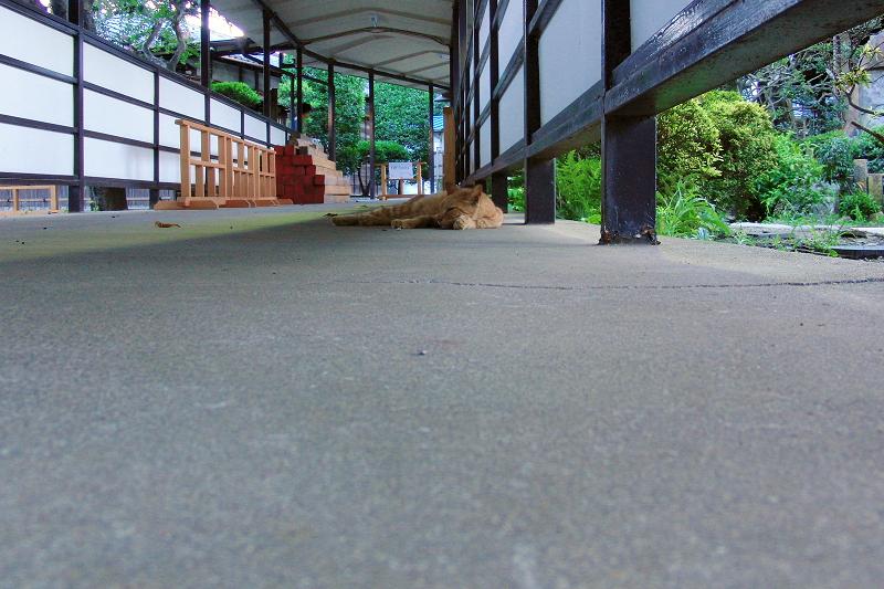 廊下の端で寝てるネコ