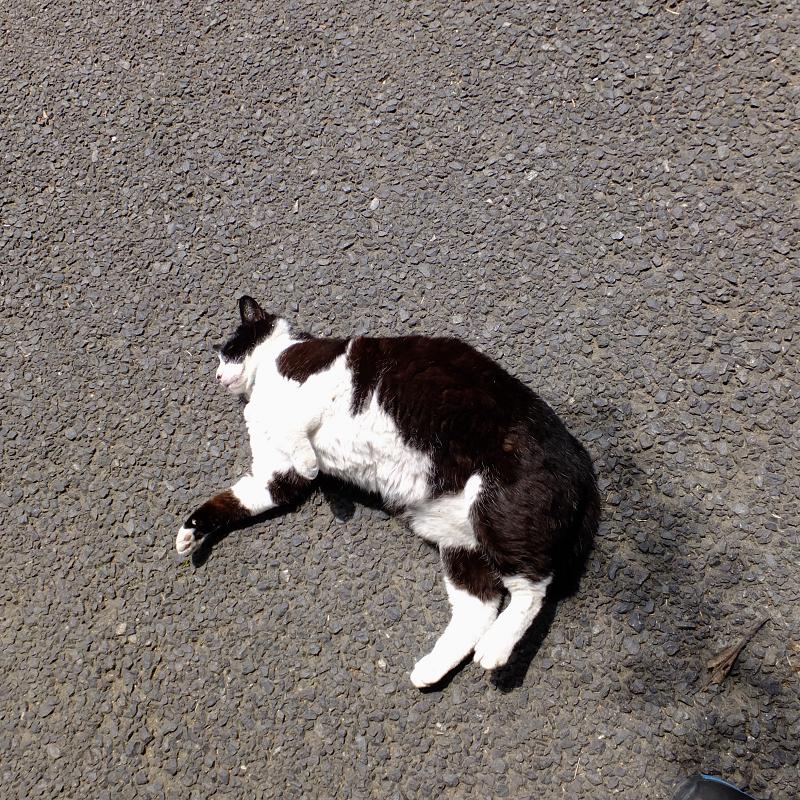 足もとでゴロゴロしているネコ