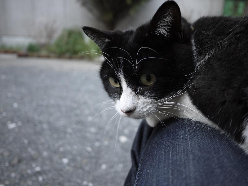 膝の上から振り返るネコ