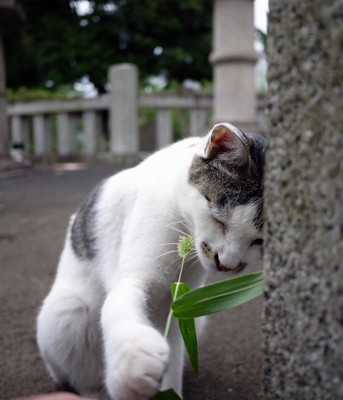 エノコロ草に興味のネコ