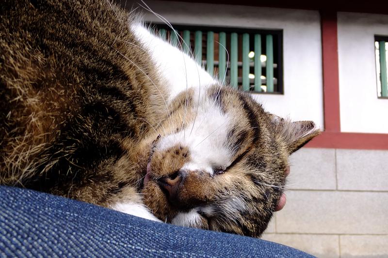 膝の上でベロを出して寝てるネコ