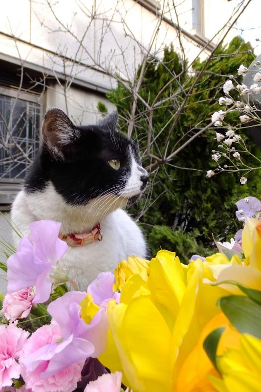 白い花びらを見てるネコ
