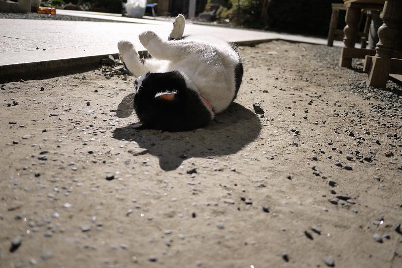 日射しを受けて境内で仰向けになるネコ