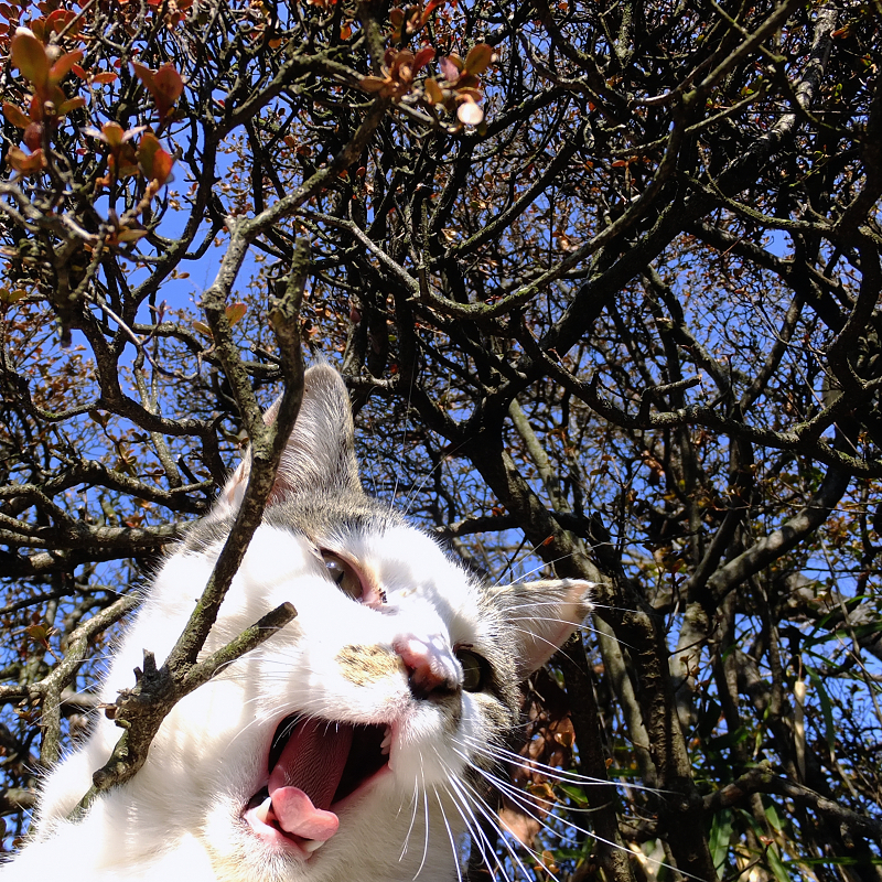 サツキの木の下でアクビをするネコ