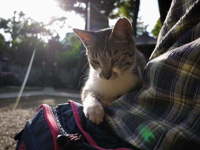 膝の上の逆光のネコ