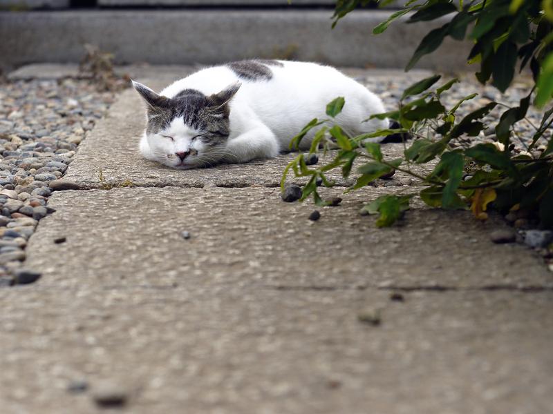 石畳の上で腹ばってるネコ