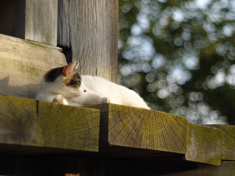 濡れ縁の外側で休憩中のネコ