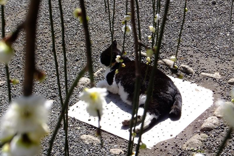 垂れ梅越しのネコ