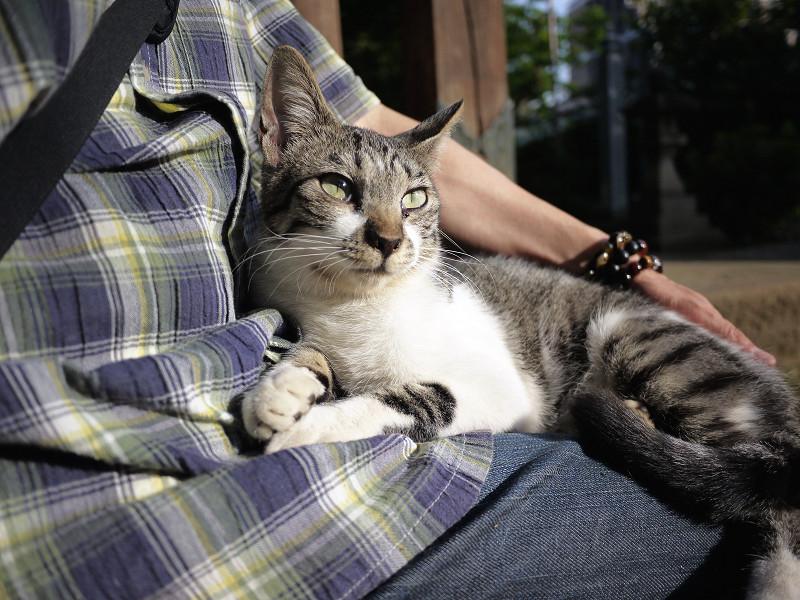 膝の乗って休憩中のネコ