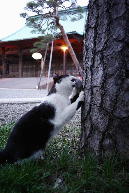 木の幹でネズミと遊ぶネコ