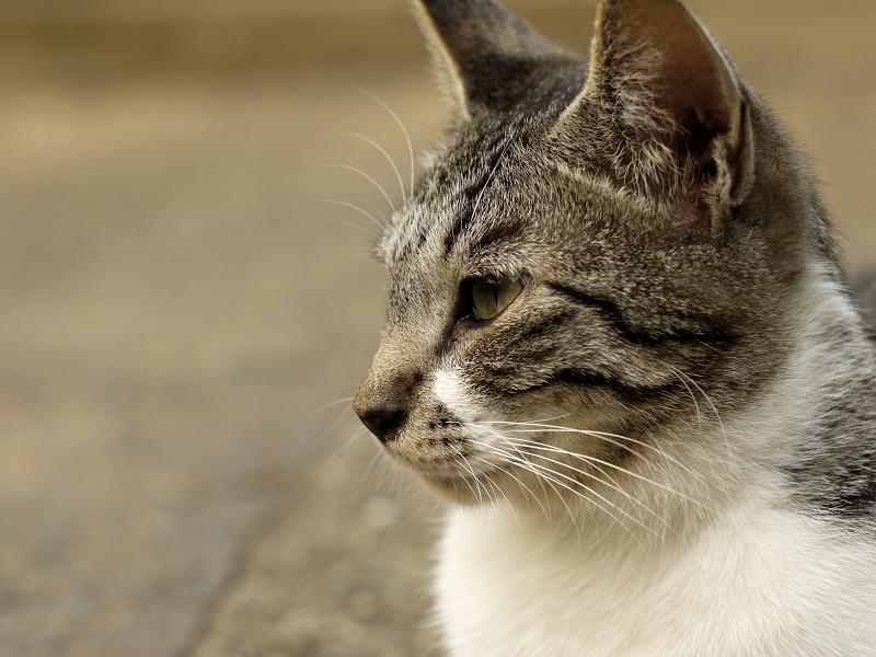 力強い視線のネコ