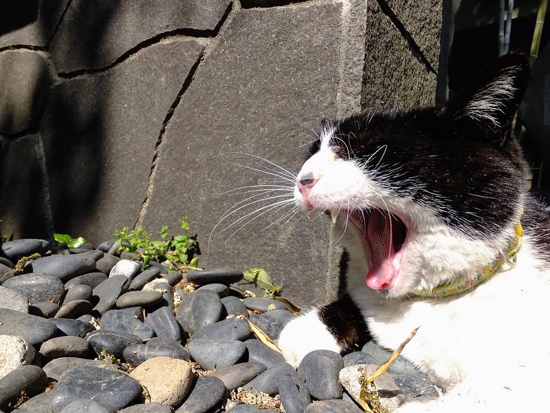 川原石と欠伸をするネコ
