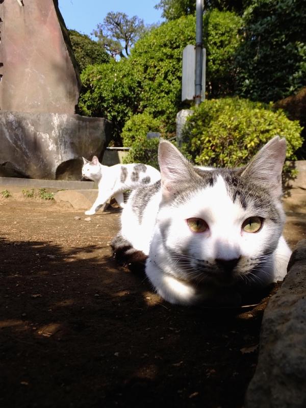 地面に腹ばってカメラを見つめるネコ